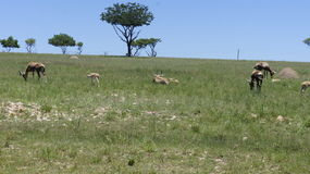 Goats are grazing on green grass, South Africa Royalty Free Stock Images