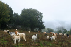 Goats grazing. Stock Images