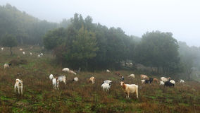 Goats grazing. Royalty Free Stock Photos