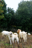 Goats grazing. Stock Image