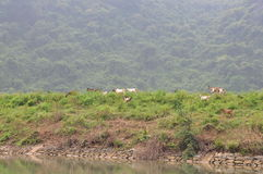 Goats are grazing on a hill in Vietnam Royalty Free Stock Photography