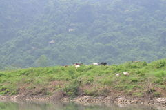 Goats are grazing on a hill in Vietnam Royalty Free Stock Image