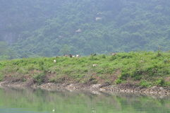 Goats are grazing on a hill in Vietnam Royalty Free Stock Photos