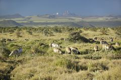 Goats grazing at Lewa Conservancy with Mount Kenya in background, Kenya, Africa Stock Images