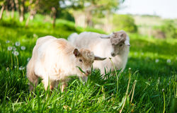 Goats grazing Stock Image