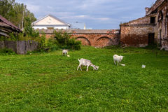 Goats grazing in the meadow Royalty Free Stock Photos