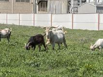 Goats grazing in a meadow Stock Images