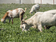 Goats grazing in a meadow Stock Photos