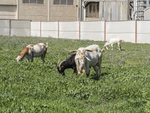 Goats grazing in a meadow Stock Photography