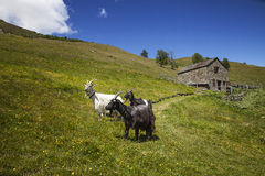 Goats. Grazing in the mountains stock photo