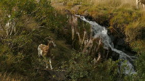 Goats grazing near a mountain stream stock footage
