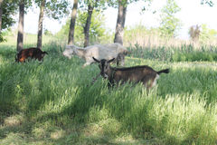 Goats grazing Royalty Free Stock Photos