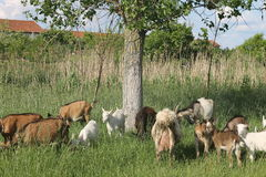 Goats grazing Royalty Free Stock Image