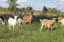 Goats grazing Stock Photo