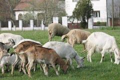 Goats grazing Royalty Free Stock Photo
