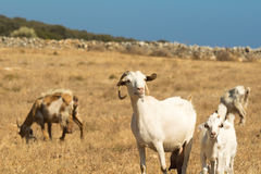 Goats grazing out in the nature on a beautiful sunny day at Paros island in Greece. Stock Photo
