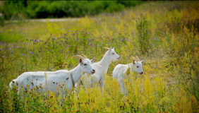 Goats grazing outdoors Royalty Free Stock Photos