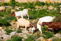 Goats grazing on scrubland, Malta. Goats grazing on scrubland by Dingli Aviation radar station, Dingli, Malta, Europe Stock Images