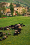 Goats grazing in village. Goats grazing with village background. Location is Rossena near Parma, Italy royalty free stock photos
