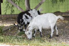 Goats grazing. White and black goats grazing, on a romanian farm royalty free stock photo