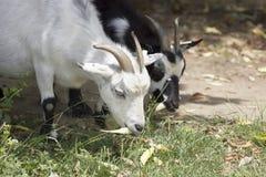 Goats grazing. White and black goats grazing, on a romanian farm Stock Photos