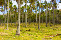 Goats grazing in the windward islands stock images