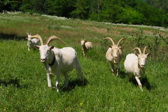 Goats grazing. Young white goats grazing outdoors royalty free stock images