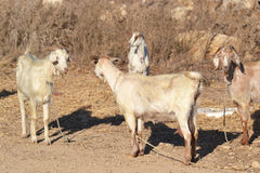 Goats Stock Images