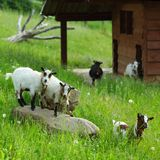 Goats on green grass Stock Image