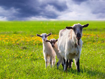 Goats on a green lawn Royalty Free Stock Photo