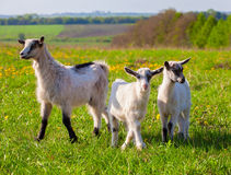 Goats on a green lawn Stock Photography