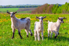 Goats on a green lawn Royalty Free Stock Image
