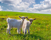 Goats on a green lawn at summer Stock Photo