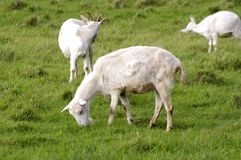 Goats on a green meadow Stock Images