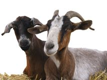 Goats on hay. Goats lays on hay against a white background Royalty Free Stock Image