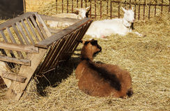 Goats on hay in the barnyard Royalty Free Stock Photography