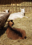 Goats on hay in the farmyard Stock Image