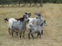 Goats hay Royalty Free Stock Image