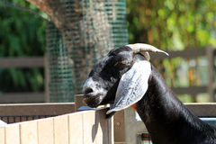 Goats head Stock Image