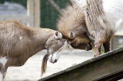 Goats Headbutting Stock Images