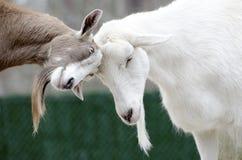 Goats Headbutting Royalty Free Stock Photo