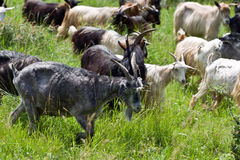 Goats heard Royalty Free Stock Image