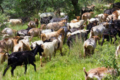 Goats heard Royalty Free Stock Photo