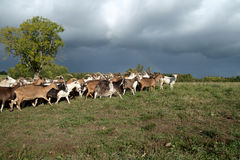 Goats Herd Royalty Free Stock Images