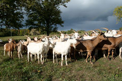 Goats Herd Stock Photo