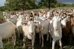 Goats Herd. Brown and white goats Herd in meadow Stock Photos