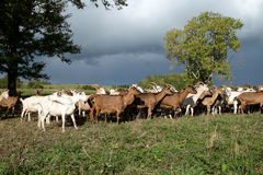 Goats Herd Royalty Free Stock Image