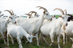 Goats in a herd Stock Image