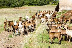 Goats. Herd of goats on pasturage, Aveyron, Midi Pyrenees, France Stock Image