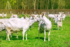 Goats herd pasturing Stock Images